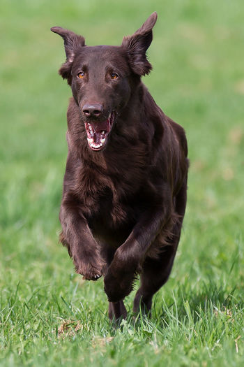 Hazel Animal Themes Brown Eyes Brown Fur Day Dog Domestic Animals Field Flat Coated Retriever Grass Green Background Looking At Camera Mammal Nature No People One Animal Outdoors Pets Retriever Running
