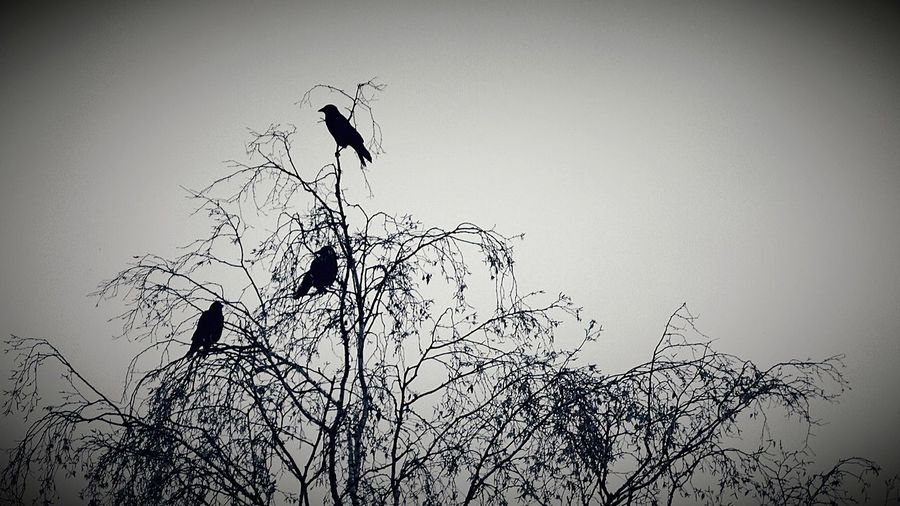 Rabenvögel Animals In The Wild Bird Animal Wildlife Silhouette Animal Themes Flying Outdoors Low Angle View Flock Of Birds Tree Day Nature No People Bird Of Prey Raven - Bird Sky Vulture Large Group Of Animals Branch It's Wintertime EyeEm Nature Lover EyeEmbestshots Nature On Your Doorstep Bare Tree