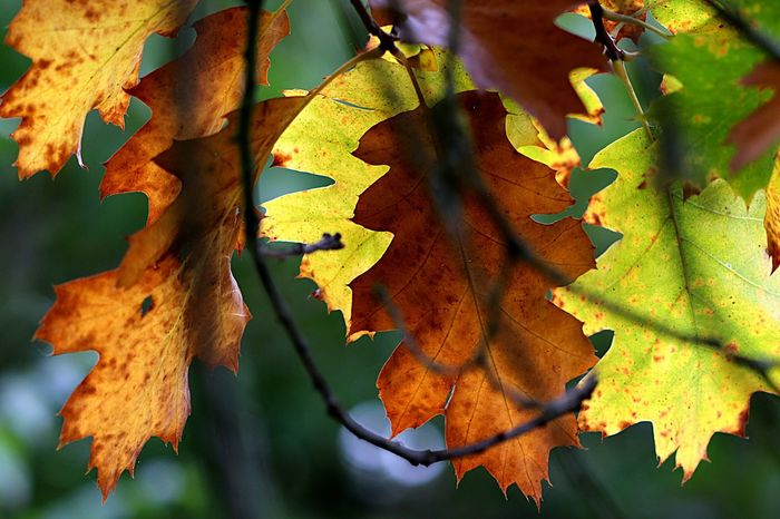 Autumn 🍂 leaves 🍁 Plant Part Leaf Autumn No People Close-up Tree Growth Full Frame Vulnerability  Beauty In Nature Nature Change Day Leaves Plant Outdoors Branch Green Color
