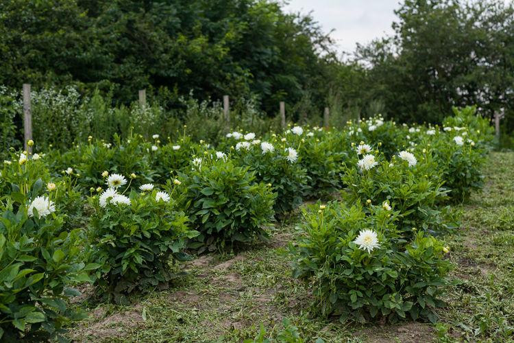 White flowering plants growing on field