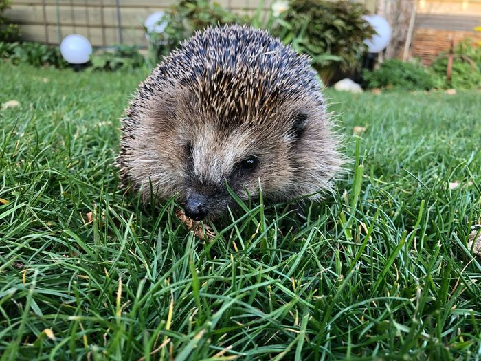 Hedgehog Waldi Hedgehog Igel Grass Plant Field Land Nature Green Color Growth Beauty In Nature One Animal Grass Area Animal Close-up
