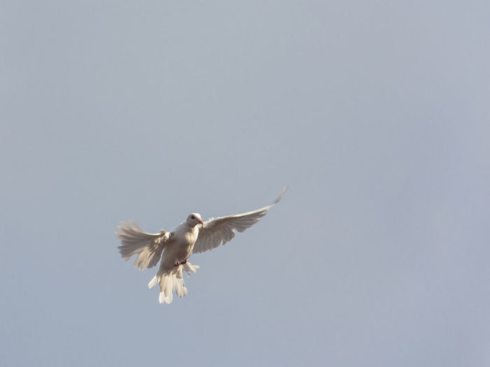 Low angle view of dove bird flying in sky