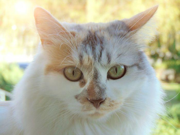 Pets Portrait Feline Looking At Camera Domestic Cat Kitten Ear Yellow Eyes Alertness Whisker