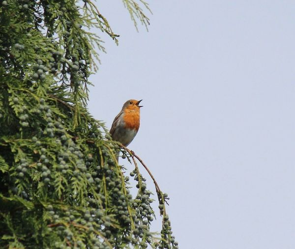 EyeEm Birds Robin