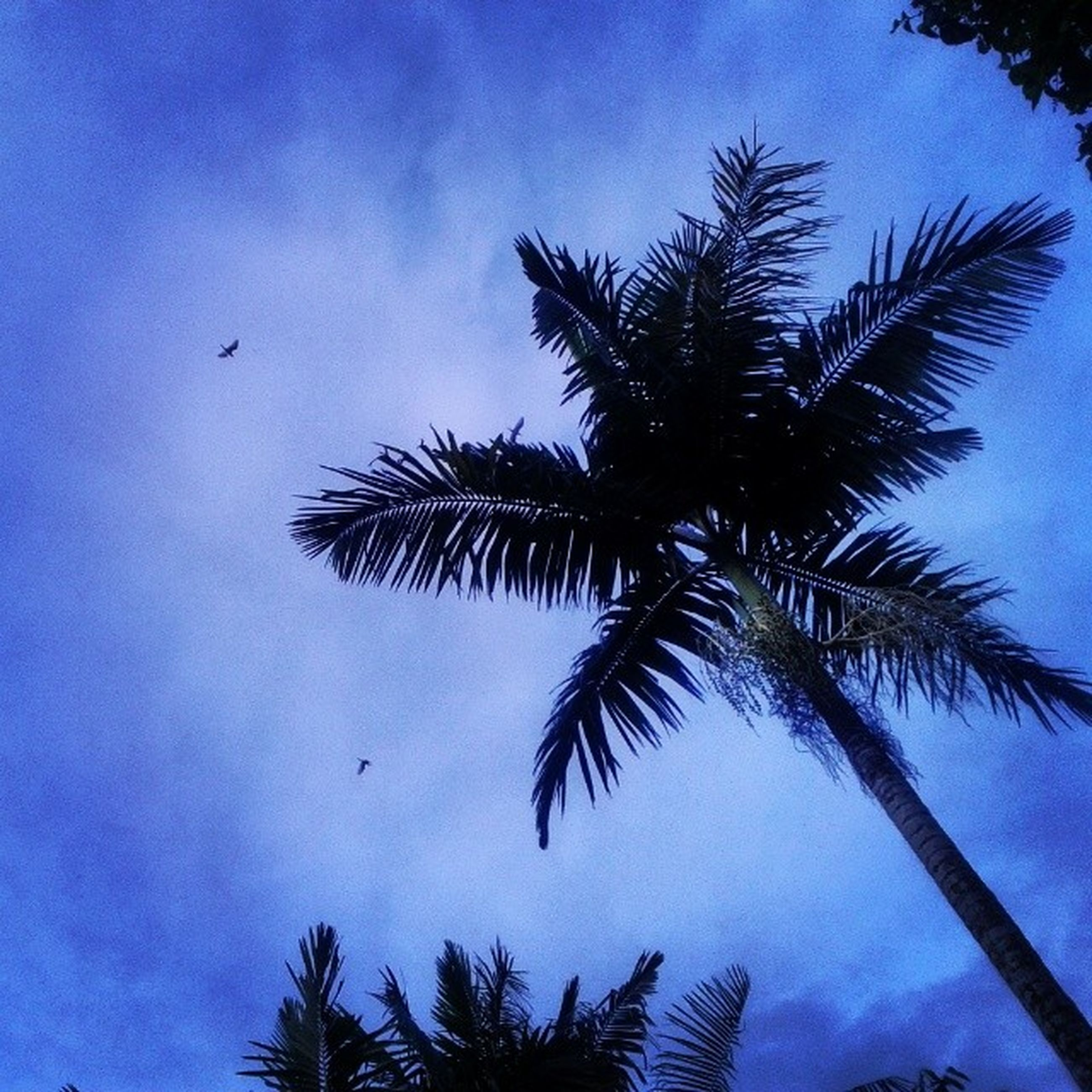 low angle view, palm tree, tree, silhouette, blue, sky, flying, bird, animal themes, nature, tranquility, beauty in nature, wildlife, animals in the wild, growth, scenics, outdoors, cloud - sky, no people, cloud