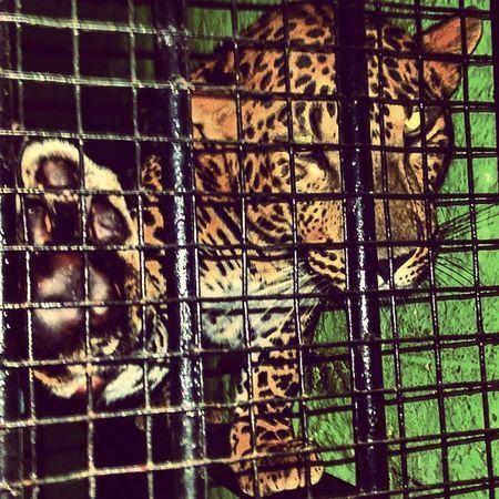 Leopard under rehabilitation Whatsup Leopard Cats Caged Rescue Natgeo Bangalore India Wild Myblr
