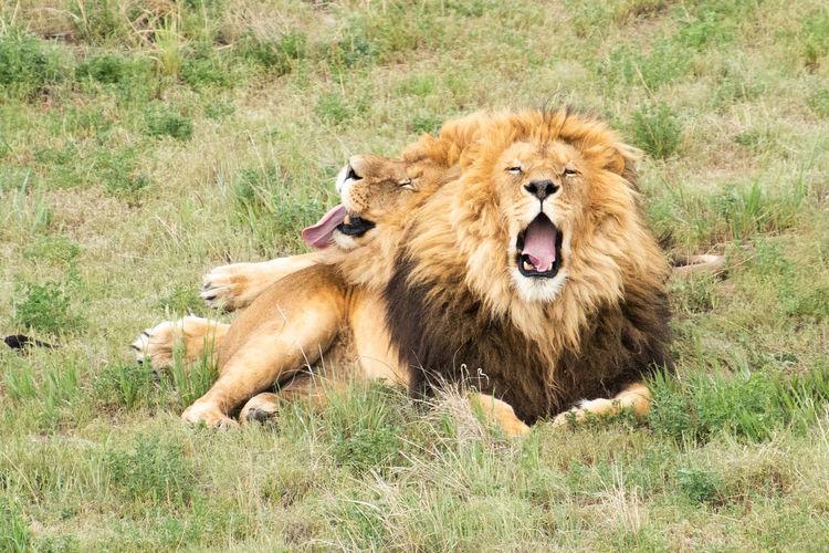 Lion Animal Animal Themes Animal Wildlife Grass Lion - Feline Lions Mammal No People Sanctuary