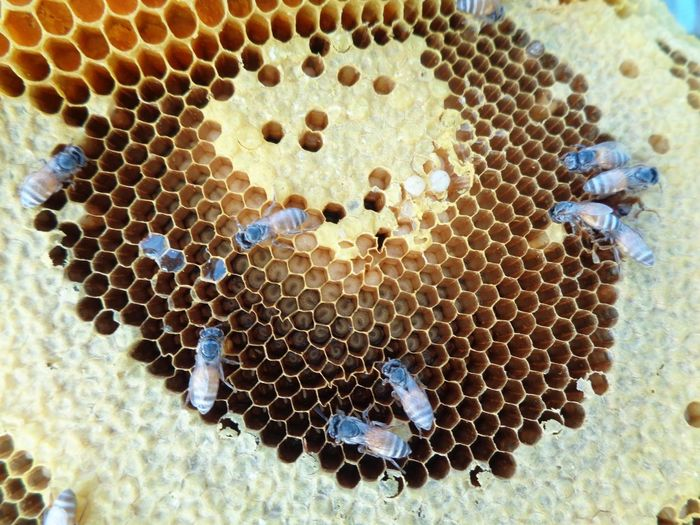 Animal Animal Themes Animal Wildlife Animals In The Wild APIculture Beauty In Nature Bee Beehive Close-up Group Of Animals Hexagon Honey Bee Honeycomb Insect Invertebrate Large Group Of Animals Nature No People Pattern
