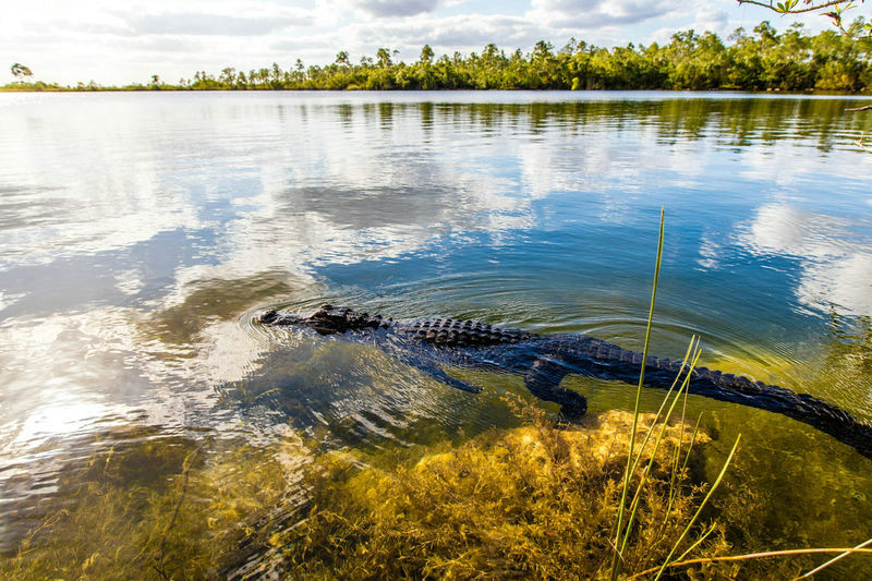 Side view of crocodile swimming in river against cloudy sky