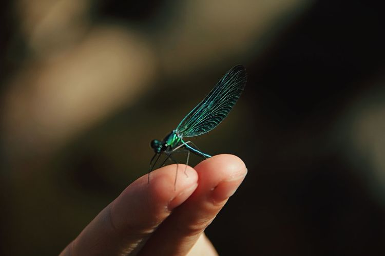 Cropped hand holding damselfly