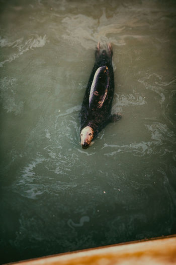 High angle view of seal swimming in sea
