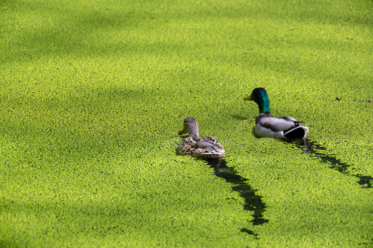 Green Color Bird Group Of Animals Animal Animal Themes Animals In The Wild Animal Wildlife Nature Plant Duck No People Lake Outdoors Water Lens Green Color Path Ducks Swimming