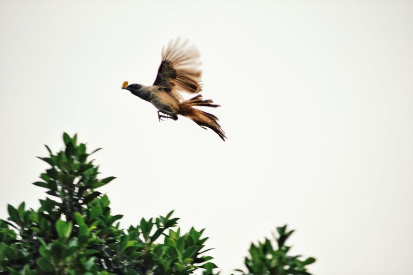 Home Bird One Animal Animal Themes Animals In The Wild Clear Sky Low Angle View Spread Wings Flying Animal Wildlife Copy Space Nature Outdoors No People Day Motion Tree Close-up Sky Hong Kong HongKong Blurry Vision