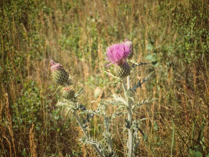 Two blooming thistles in grass Theodore Roosevelt National Park Growth Nature Plant Flower Field No People Tranquility Thistle Outdoors Blooming Freshness Day Fragility Close-up Flower Head Beauty In Nature