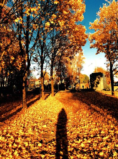 Enjoy The New Normal Autumn Treescape Trees Fall2016 Beauty In Nature URBd Nature Change Leaves🌿 Falling Leaves Outdoors One Person ShadowMe Day Sunlight And Shadow Beauty In Nature Oslostreets KariJosefiné✨ IPhoneography
