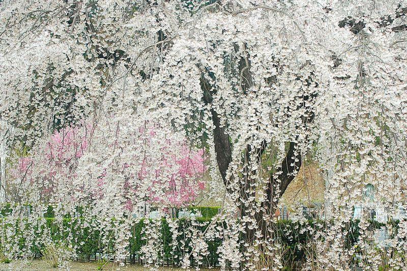地蔵院の枝垂桜。 Spring Colours Pink Spring Time Japan Colors Spring 春 EyeEm Nature Lover Blossom 桜 Sakura Cherry Blossoms Japanese Temple