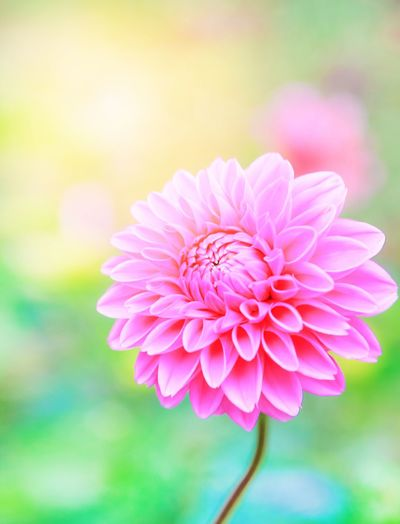 Flower Petal Focus On Foreground Beauty In Nature Nature Fragility Flower Head Pink Color Close-up Freshness No People Growth Blooming Outdoors Day Women EmeEmPhoto Wallpaper Nature Backgrounds Abstract Dahlia Plant Zinnia  Mix Yourself A Good Time