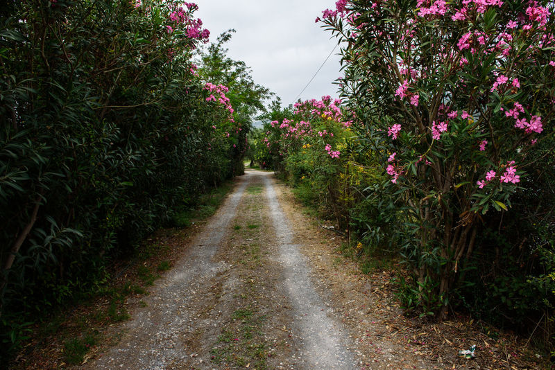 Small road with oleanders (Nerium oleander) at both sides. An Eye For Travel Bushes And Flowers Kalamata,Greece Nature Nerium Oleander Oleander Flowers Plant Bush Garden Greece Kalamata Oleander Park Pink Blossoms Pink Flowers Small Road Summer Summer Time  Growth Flower Outdoors Beauty In Nature