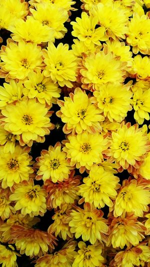 A Beautiful Bunch of Bright Yellow Flowers . This Picture would be a Perfect Background . Featuring Flower Petal Growth Full Frame Nature Flower Head Backgrounds Fragility Freshness Plant Beauty In Nature No People Day Outdoors Springtime Blooming Close-up