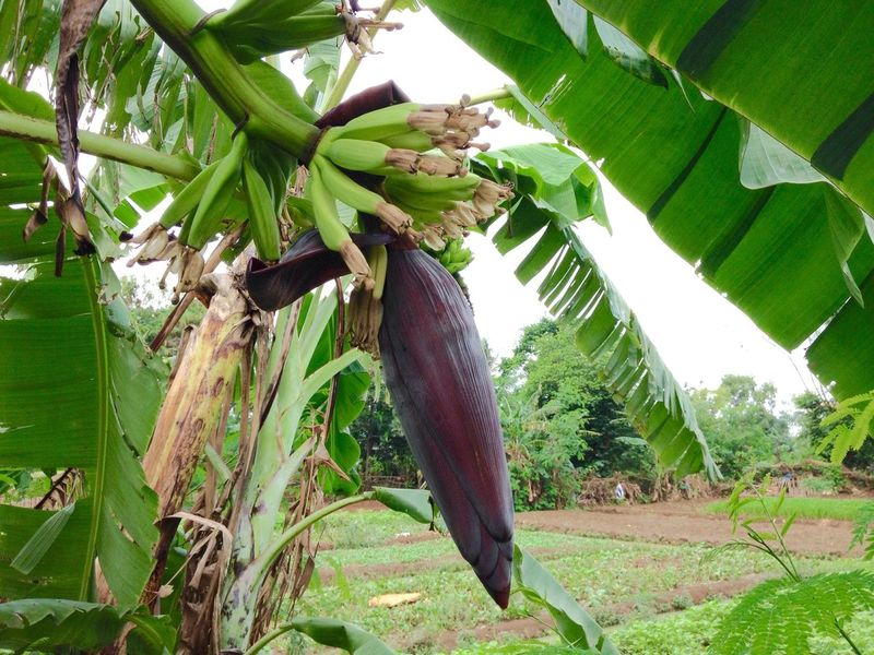 Banana fruit and flower Banana Flower Banana Fruit Banana Tree Nature Plant Nature Plant Gardening Tropical Climate INDONESIA Indonesia Plant Fruit Fresh Food