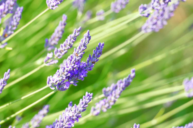 'Lavender V' --