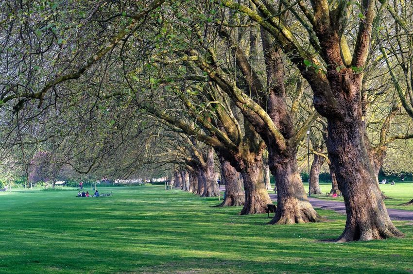 Old trees in the park Urban Nature Environment Park Green Color Grass Field Growth Outdoors Nature Day Tree Beauty In Nature