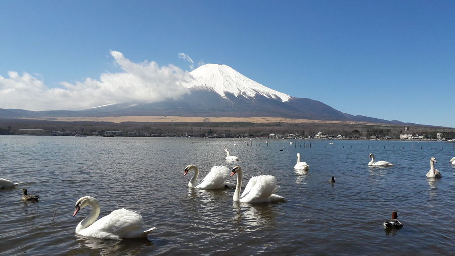 Japan Fuji Fujiyama Mountain Swan Bird Water Mountain Snow Flamingo Lake Swimming Polar Climate Blue White Swan Volcano