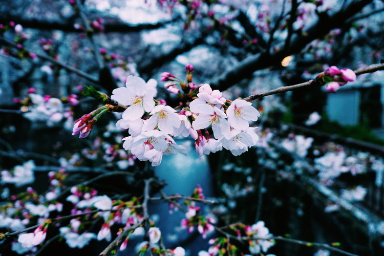 Sakura in Nakameguro Sakura Tokyo Japan Reflection River Nakameguro Meguro Meguro River Flower Head Tree Flower Branch Springtime Pink Color Petal Blossom Twig Cherry Blossom In Bloom Blooming