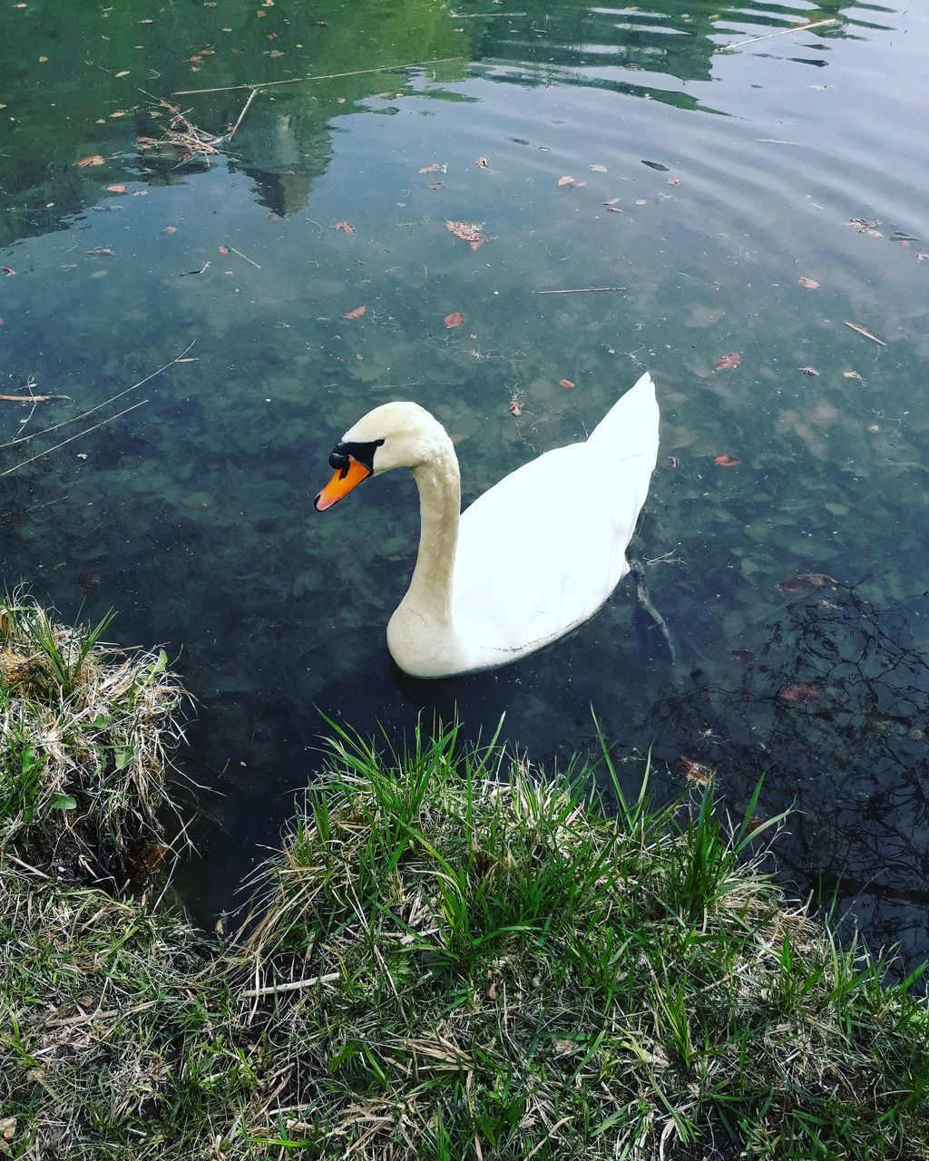 animals in the wild, animal wildlife, animal, animal themes, vertebrate, water, bird, swan, lake, one animal, nature, swimming, plant, day, water bird, high angle view, no people, mute swan, white color, floating on water, animal neck