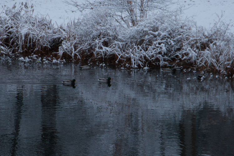 Reflection Beauty In Nature Birds Day Ducks Lake Nature No People Outdoors Snow Covered Snow Covered Landscape Snowy Tree Reflection Snowy Trees Water Winter Lake