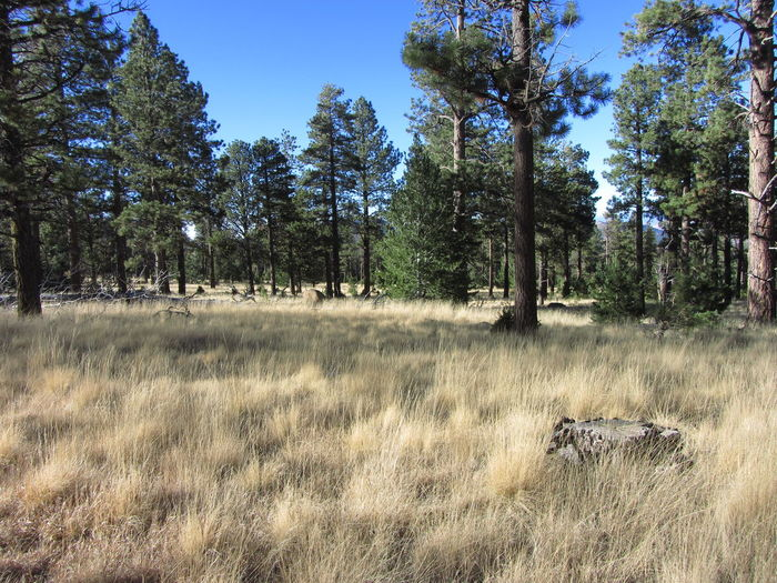 Ponderosa pine forest Arizona Ponderosa Pine Winter Beauty In Nature Coniferous Tree Day Forest Grass Growth Landscape Meadow Nature No People Outdoors Sky Tranquil Scene Tree