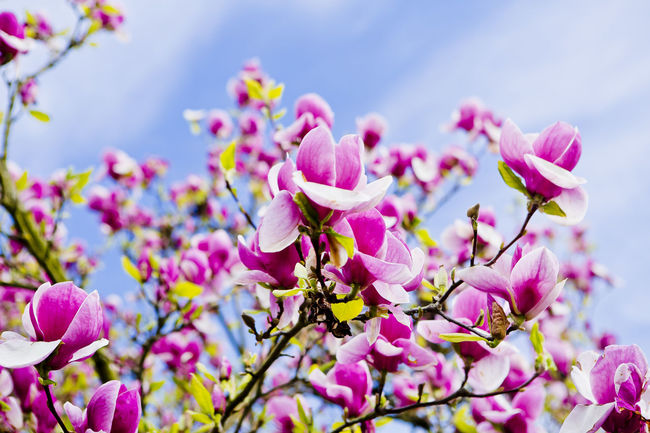 A magnolia tree in spring... Spring FlowersFlower Head Nature Flower EyeEm Diversity🌸 Magnolia Tree Magnolia Nicospecial Plant Purple Backgrounds Beauty In Nature Day Close-up Pink Color No People Closing Freshness Springtime Still Life Sky Tree Flowers Flower Collection Pink