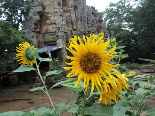 I found a photo from my October trip to Cambodia. Here it is.😁 Sunflower Flower Flower Head Bright Colors Yellow Yellow Flower Yellow And Green Sunflowers🌻 Sunflower🌻 Temple Temple - Building Temple Architecture Ancient Architecture Old Temple Cambodia Cambodia Tour Cambodia Photos Flag Trees And Nature