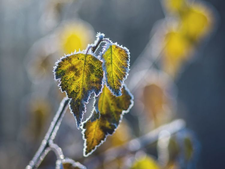 Nature Close-up Plant Beauty In Nature Growth Outdoors Fragility Day No People Frosty Frosty Mornings Ice Crystals Frozen Nature Frozen Pentax Early Morning Wintertime Autumn Colors Beautiful Day Bokeh Bokeh Photography Bokehlicious Klaquax@home