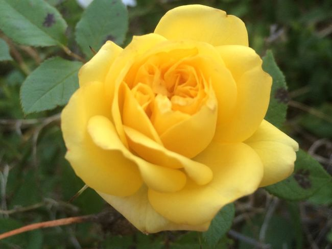 Rose buds Flower Nature Growth Beauty In Nature Petal Plant Blooming Yellow Close-up Fragility No People Outdoors Flower Head Day