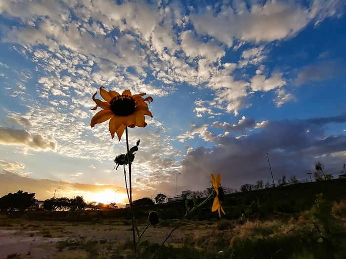 Scenic view of flowering plant on field against sky during sunset