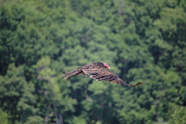 Vulture Bird Of