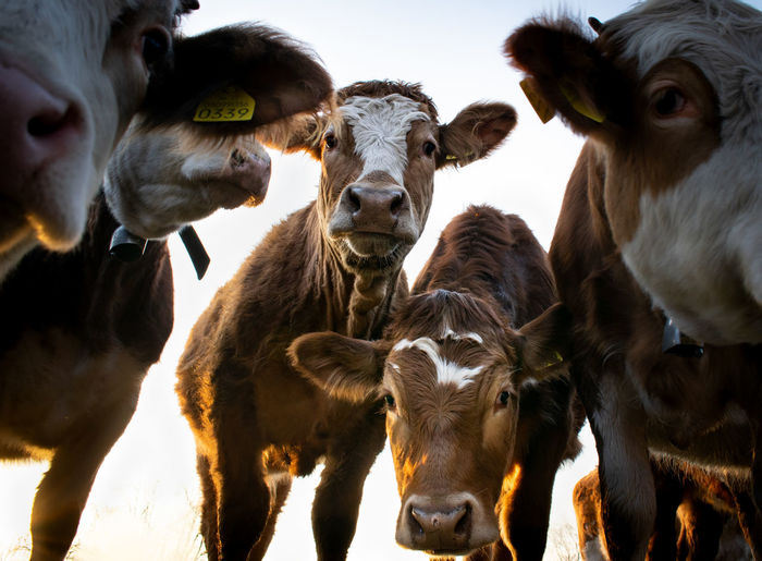 Portrait of curious cows looking at the camera