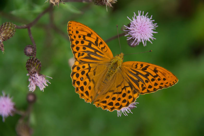 Silver-washed fritillary Animal Themes Animals In The Wild Butterfly Butterfly - Insect Close-up Fauna Flower Head Focus On Foreground Fragility Insect July No People Plant Spread Wings