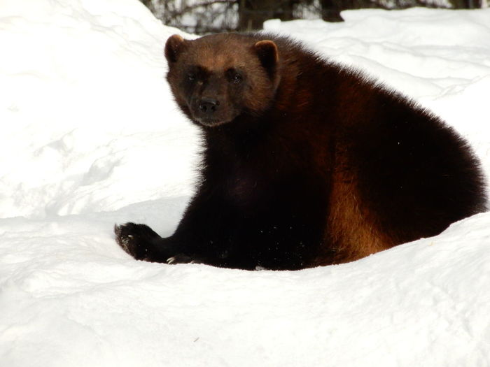 Carcajou Hatch Sitting Animal Animal Themes Animal Wildlife Animals In The Wild Bear Carcajou Close-up Cold Temperature Cute Forest Glutton Mammal Nature No People One Animal Outdoors Quick Skunk Snow Winter Wolverine