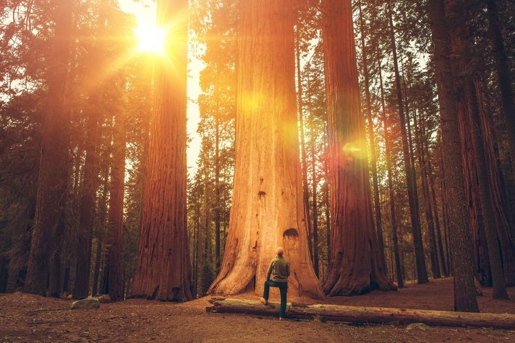Caucasian Hiker in His 30s in Front of Giant Sequoia. Sierra Nevada Ancient Forest. California Giant Sequoia Sequoia National Park United States Back Lit Beauty In Nature Day Forest Forest Trees Full Length Lens Flare Nature One Person One Woman Only Only Women Outdoors Sierra Nevada Mountains Standing Sun Sunbeam Sunlight Sunset Tranquility Tree Tree Trunk California Dreamin