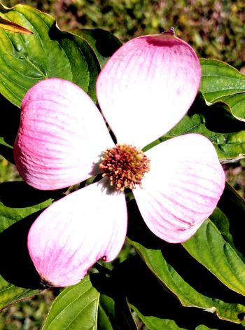 Pink Dogwood No People Flower Head Flower Leaf Petal Pink Color Close-up Plant Blooming In Bloom Plant Life Pollen Blossom