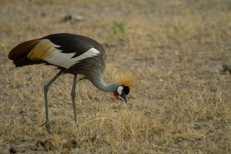 Grey crowned crane bird eating bugs in the grass