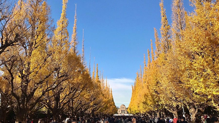 Autumn 💛💛💛 Meiji Jingu Gaien Aoyama Tokyo Japan Photography ASIA Ginkgo Yellow Beauty In Nature Clear Sky Fall Beauty Autumn Colors EyeEm Nature Lover IPhone Photography Tree_collection  My Year My View Tokyo Street Photography Capital Cities  Good Times 神宮外苑いちょう並木 神宮外苑 東京 いちょう並木 秋 紅葉