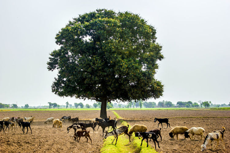 Goats Grazing in the village fields Goat Village Goat Iftikhar Photography Iftikhar Images Lahore Punjabi Pakistan Big Tree Goats Grazing Village Landscape Animal Themes Plant Group Of Animals Mammal Animal Large Group Of Animals Tree Animal Wildlife Animals In The Wild Domestic Animals Field Livestock Land Nature Herd Landscape Sky Environment Day Vertebrate No People Outdoors Herbivorous