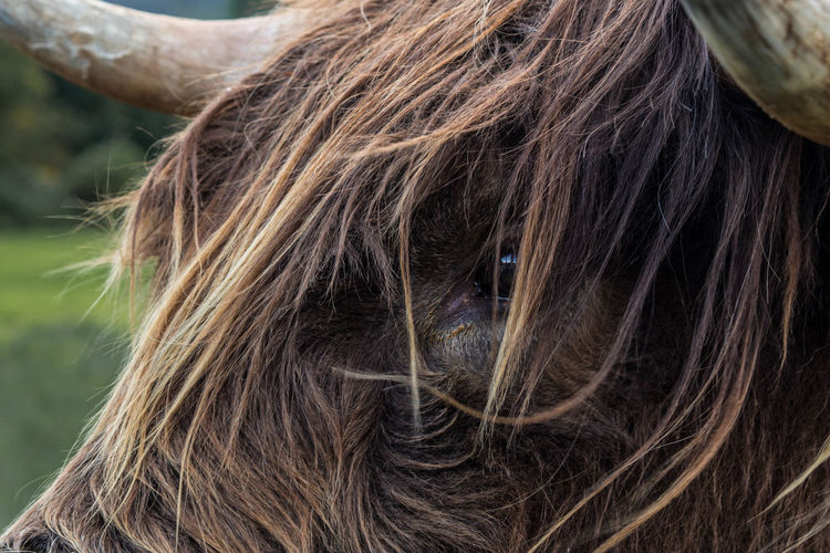 Closeup of a highland cattle Beef Hair Highland Cattle Scotland Wildlife & Nature Animal Animal Themes Cattle Close Up Close-up Details Of Nature Eye Focus On Foreground Highlands One Animal Outdoors Wild