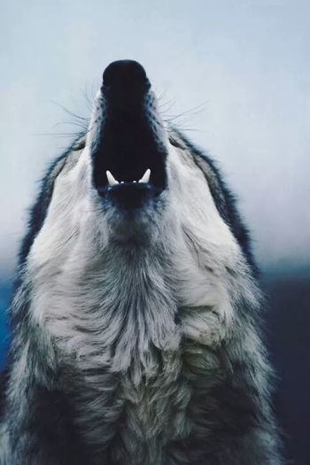 Mi pasion los Lobos