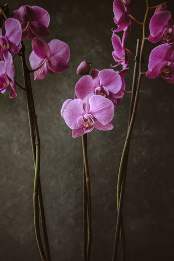 Orchid Beauty In Nature Botany Close-up Dark Background Day Floral Flower Flower Head Flowering Plant Focus On Foreground Fragility Freshness Growth Nature No People Petal Pink Color Plant Plant Stem Purple Still Life Vulnerability  The Still Life Photographer - 2018 EyeEm Awards