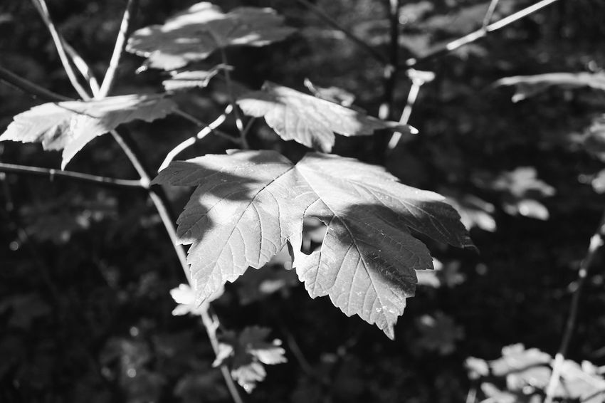 Leaf Leaves Nature