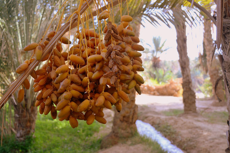 Close-up of corn hanging on tree